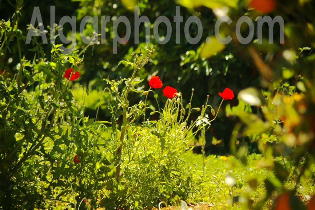 Algarve photography Orange Grove Poppies