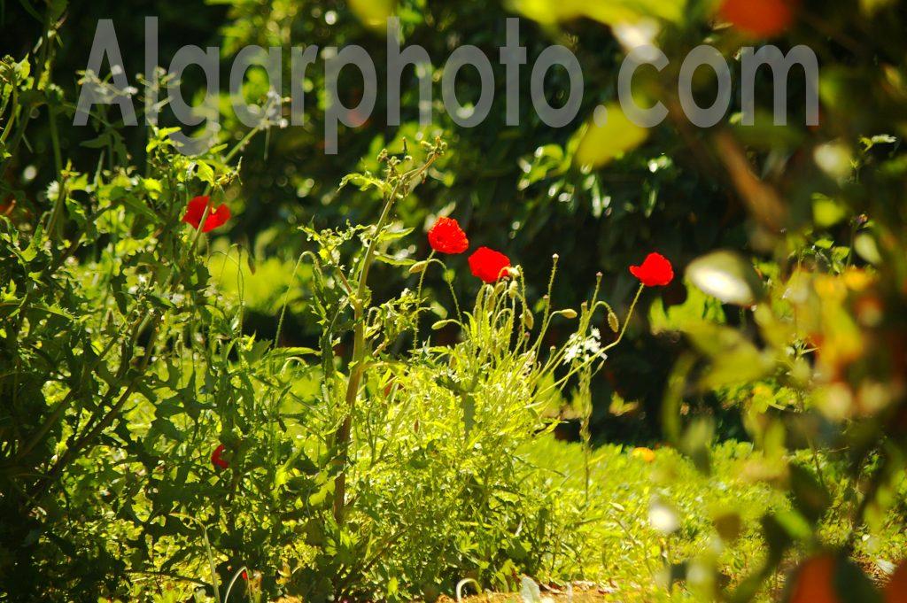 Algarve photography Orange Grove Poppies
