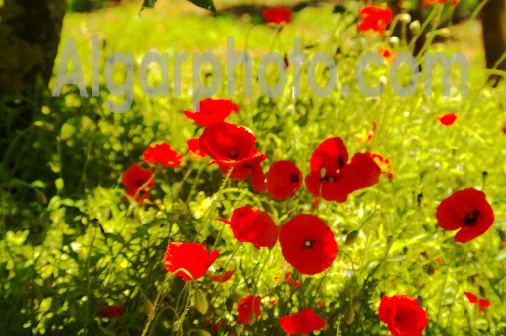 Algarve photography Poppies 1