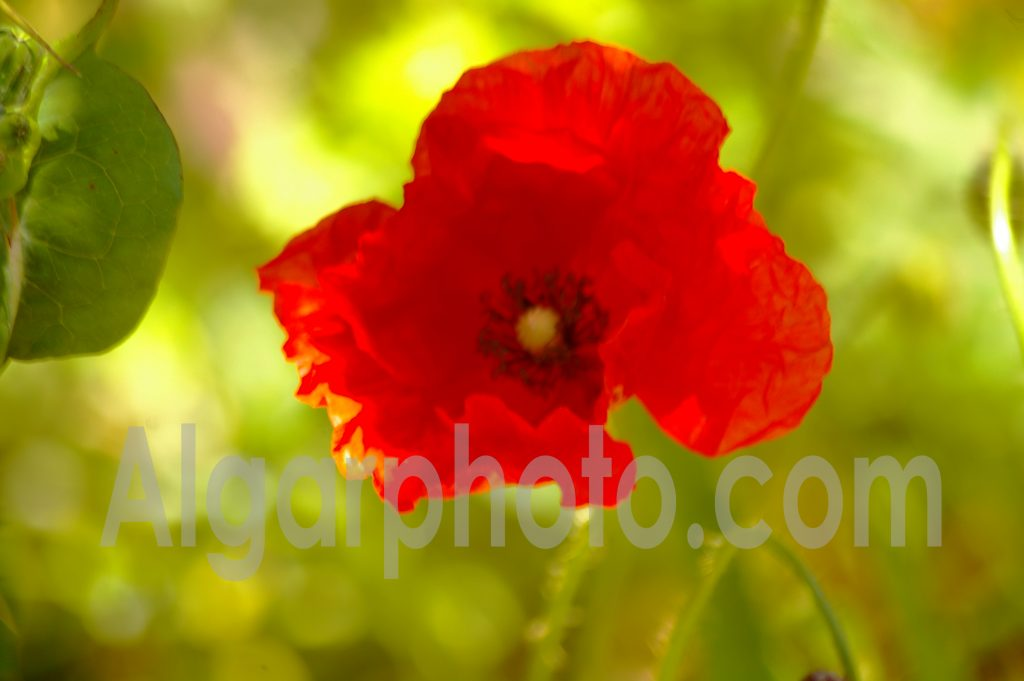 Algarve photography Poppy Macro