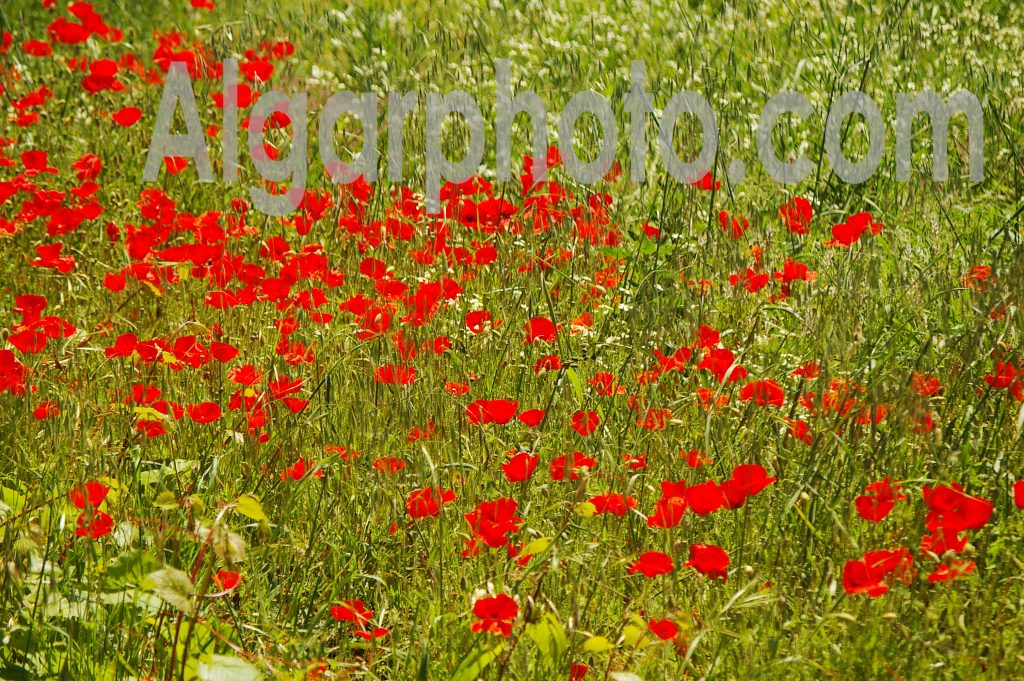 Algarve photography Poppies 2