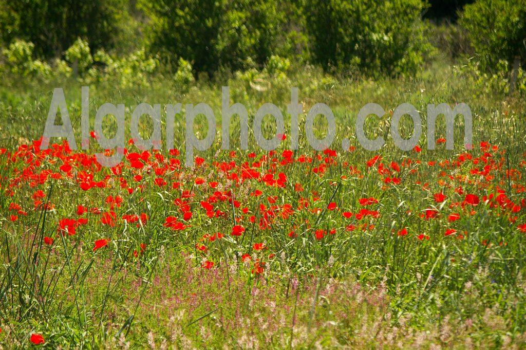 Algarve photography Poppies 3