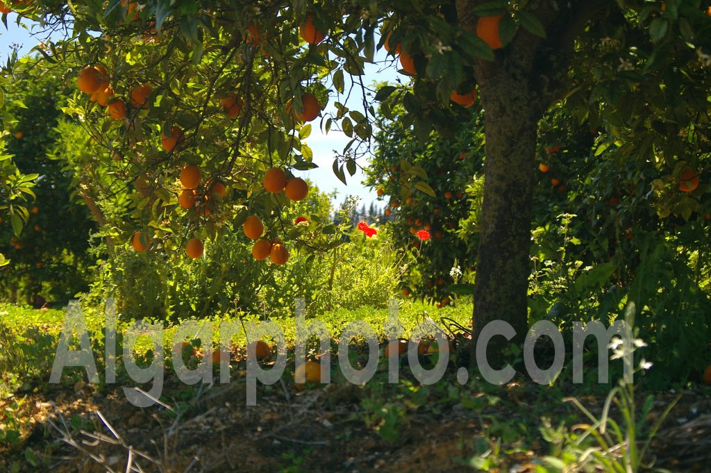 Algarve photography Oranges and Poppies 1