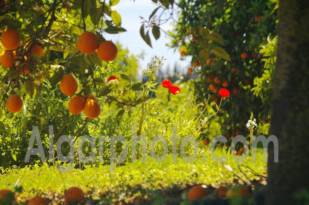 Algarve photography Oranges and Poppies 2