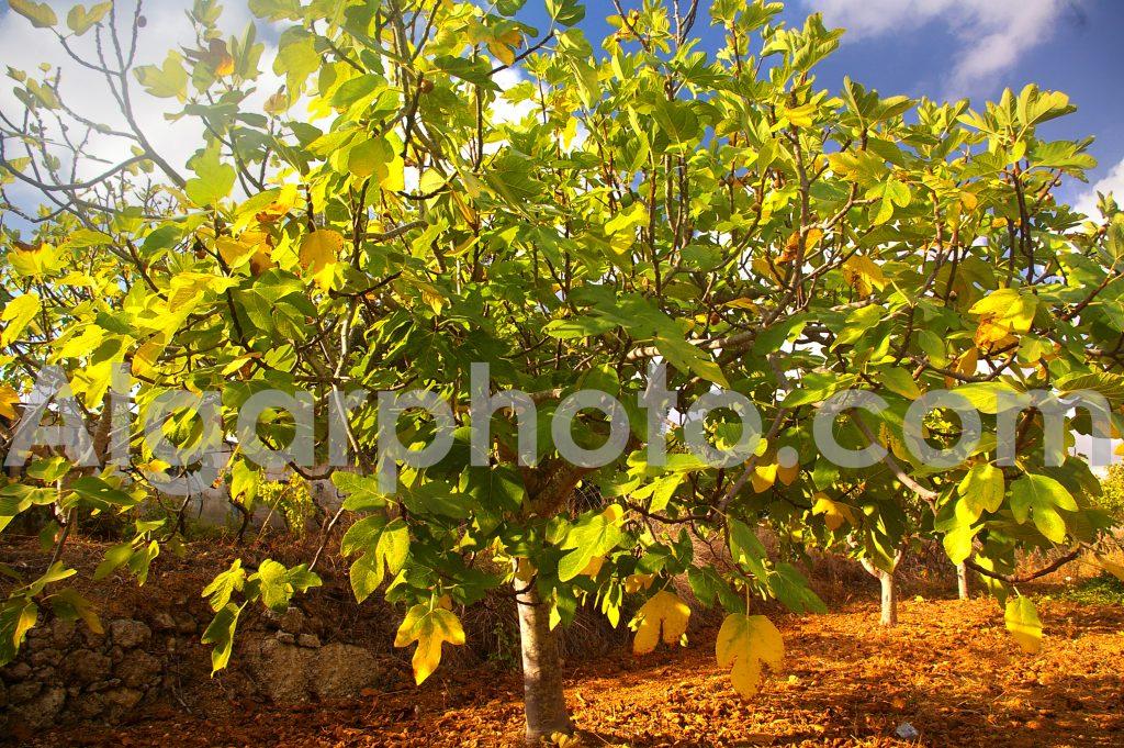Algarve photography Autumn Vines Fig Trees 3