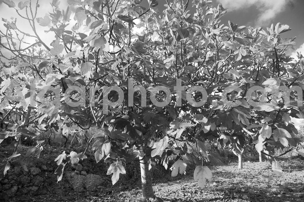Algarve photography Autumn Vines Fig Tree 3 Mono