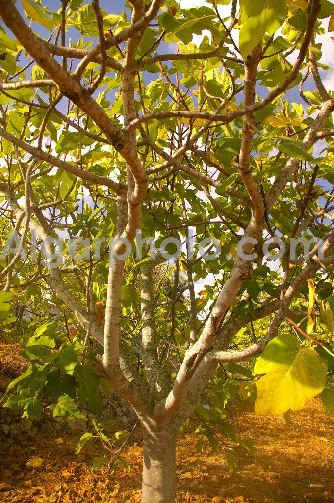 Algarve photography Autumn Vines Fig Trees 2