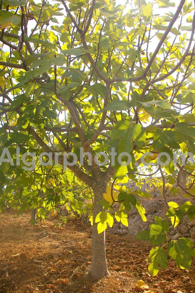 Algarve photography Autumn Vines Fig Trees 1