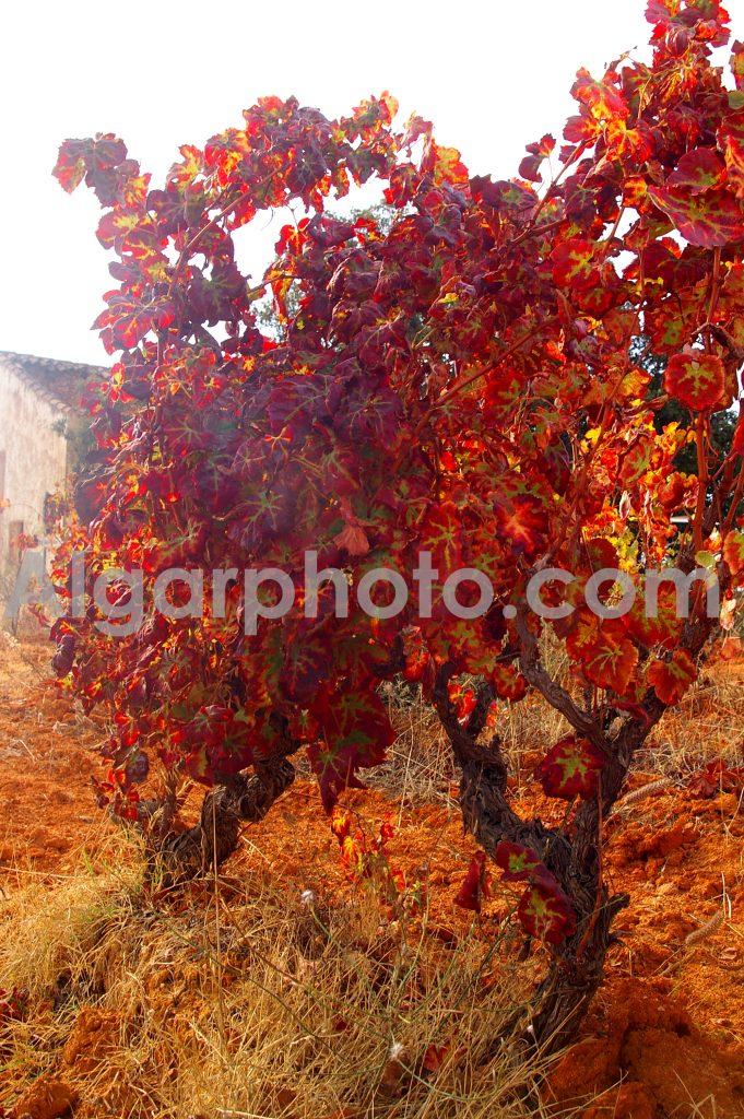 Algarve photography Autumn Vines 1