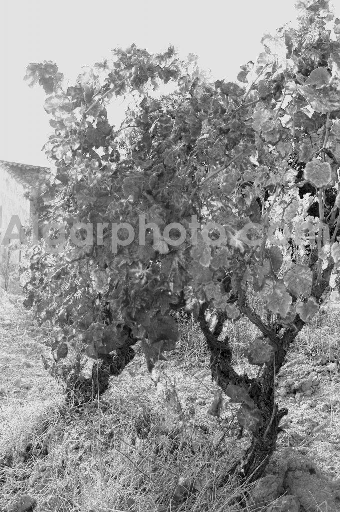 Algarve photography Autumn Vines 1 Mono