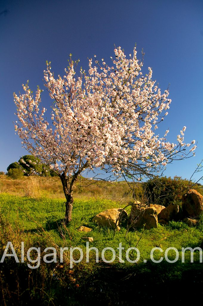 Algarve photography Lombos Almond tree in spring 2 of 2