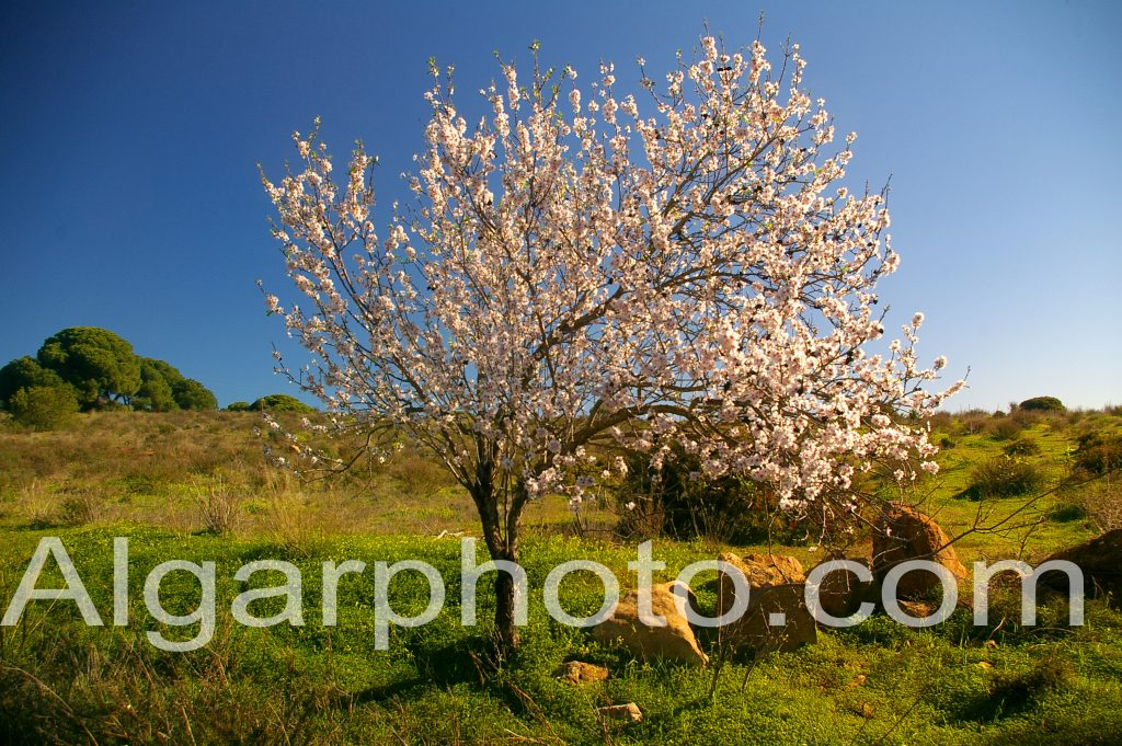 Algarve photography Lombos Almond tree in spring 1 of 2