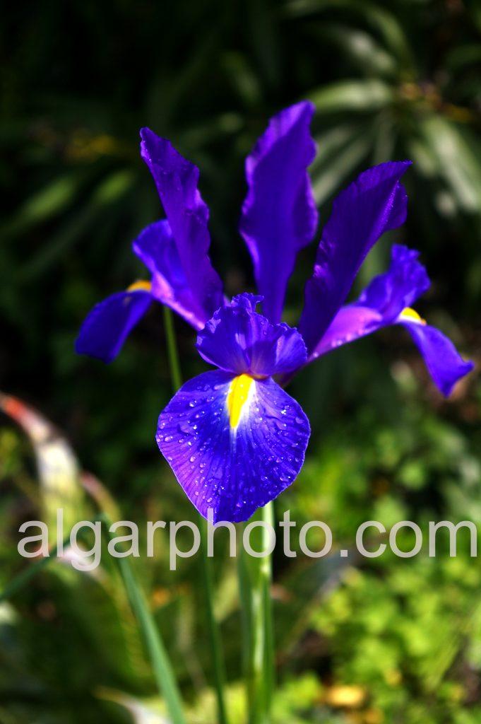 Algarve photography Springtime lily macro 2