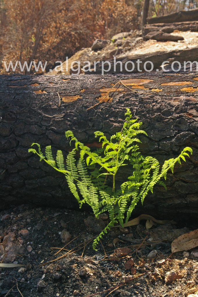 Algarve photography a new fern springs from the ashes of the 2018 Monchique wildfires