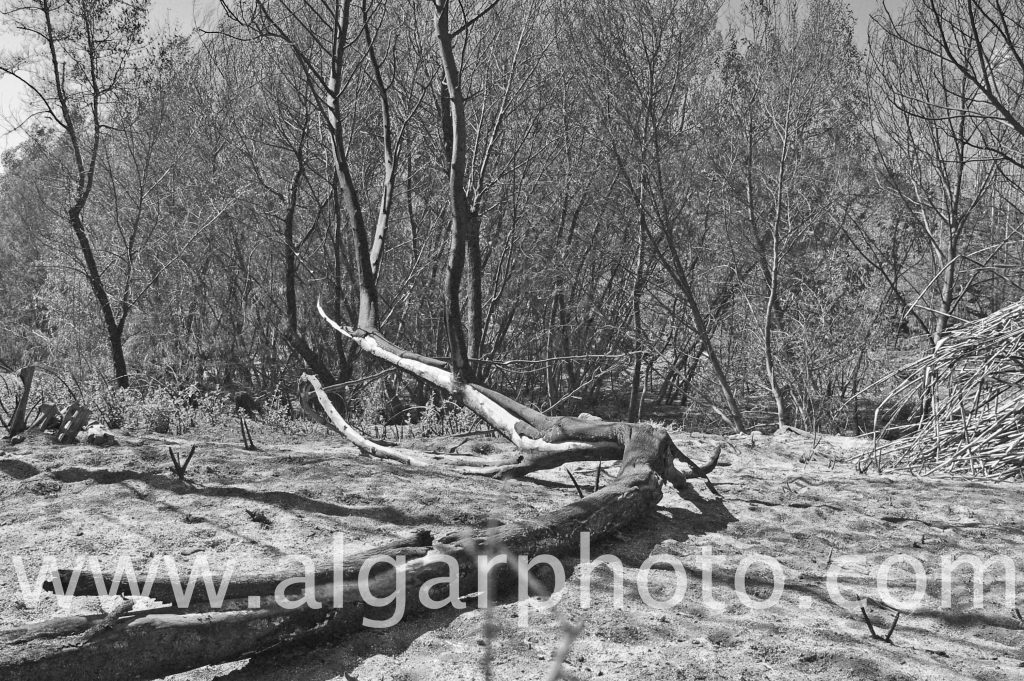 Algarve photography fallen tree after wildfires in Monchique Mono